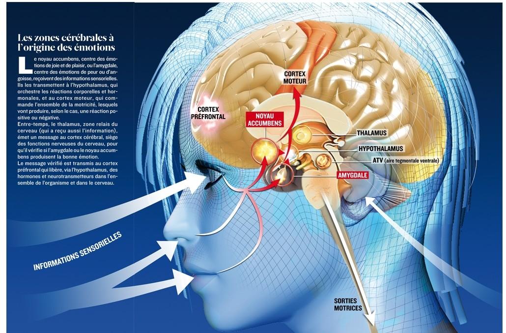 L'amygdale ou le complexe amygdalien