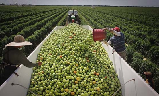 Tomato Trade War Averted