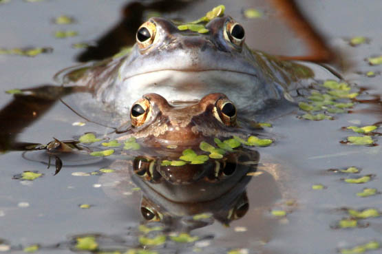 A couple of moor frogs sit in a pond during spawning season on April 1, 2014 in Leipzig, eastern Germany. Due to drainage of moors and wetlands, the habitat of the species is getting smaller. AFP PHOTO / DPA / SEBASTIAN WILLNOW / GERMANY OUT