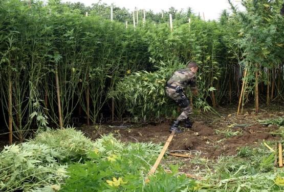 pesant-pas-moins-de-1-9-tonne-les-plants-ont-ete-arraches-puis-detruits-photo-dl-1404617863