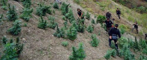 Cannabis Peru