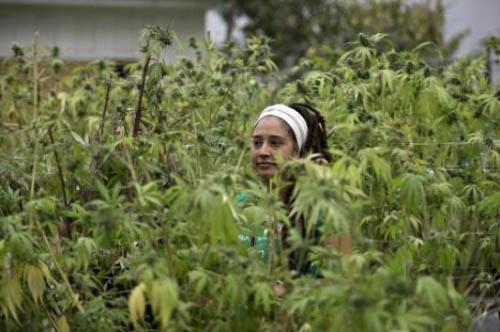 cannabis-chili