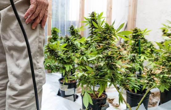 pollinating-marijuana-2-620x400