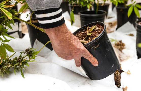 pollinating-marijuana-3-620x400