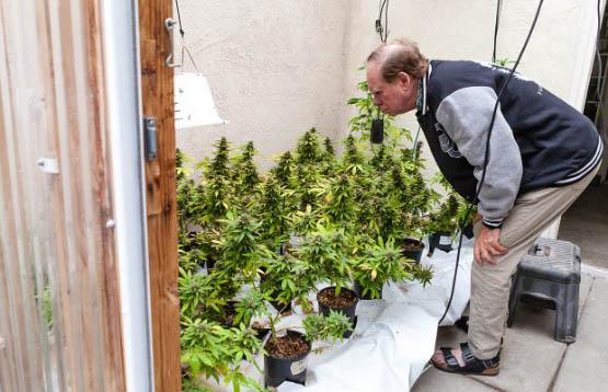 pollinating-marijuana-4-620x400