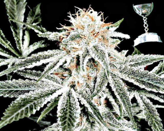 G_white-widow-feminized_sd800-1