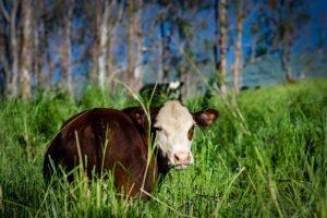 Plantations surveillées par des vaches à Hawaï