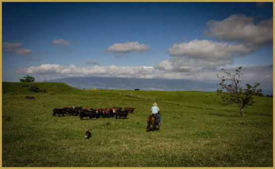 maui-cattle-co-the-best-jpeg-689_web