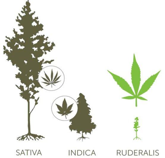 Cannabis-Ruderalis2