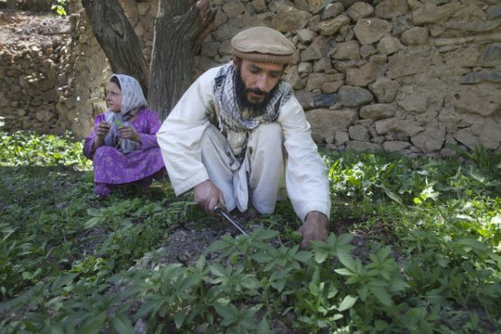 Afghan-Cannabis-1-Cannabis-production-is-widespread-in-Afghanistan-which-is-the-worlds-largest-producer-of-hashish