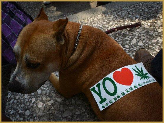 dog-marijuana-getty-image-640x480