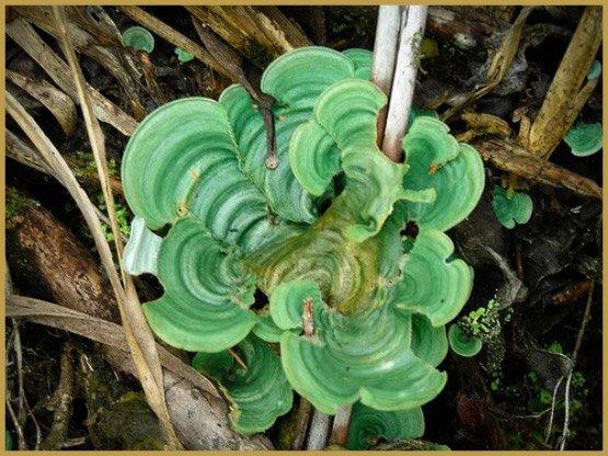 Le lichen psychédélique