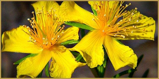 medicinal-herbs-4