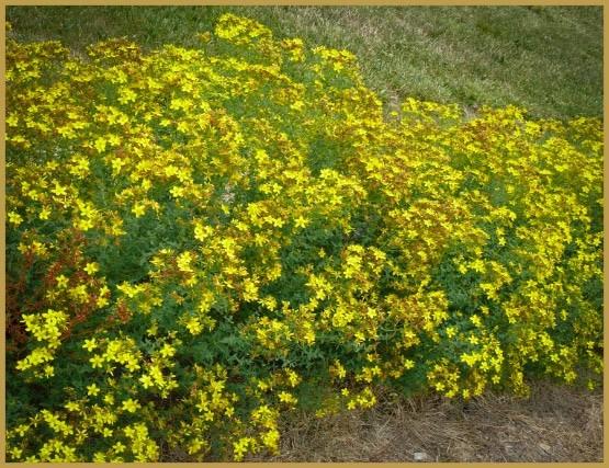 лекарственные травы-29-