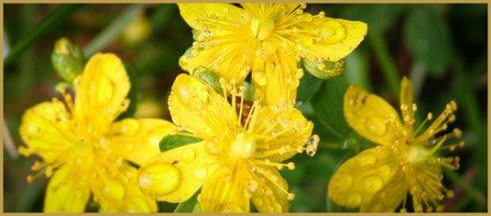 лекарственные травы-24-