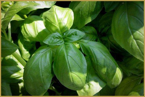 лекарственные травы-20-