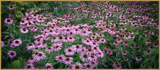 лекарственные травы-17-