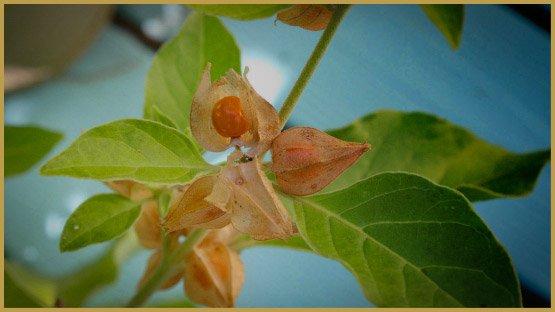 medicinal-herbs-12