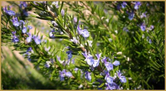 medicinal-herbs-10