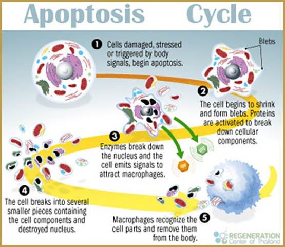 apoptosis-cycle