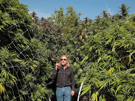 marijuana-jorge-cervantes