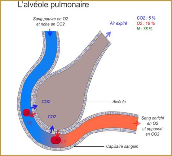 animation-flash-alveole-pulmonaire-1