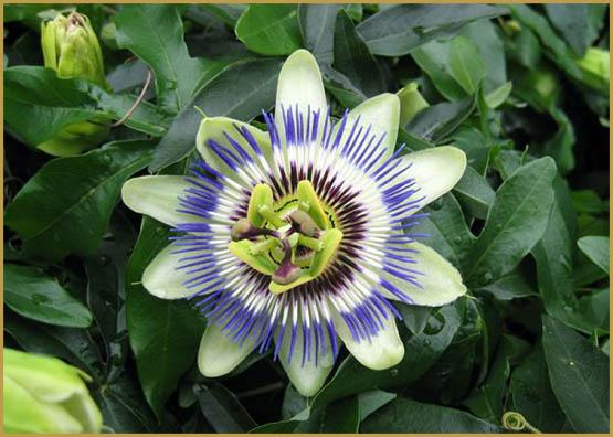 passiflora-caerulea-fleur-600x450