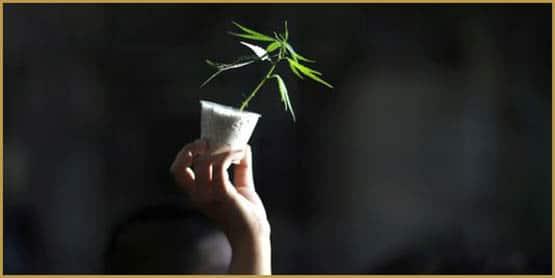 5027607_3_5d65_une-femme-brandit-un-plan-de-cannabis-lors_9bef24146dd18a14e076997dc272b353