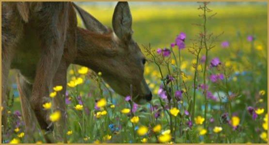 569276928-chevreuil-champ-de-fleurs-brouter-fleur-sauvage
