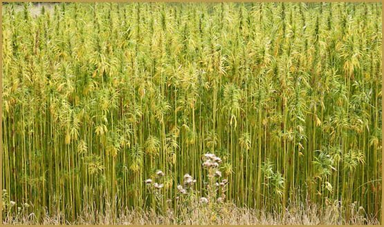 virginias-first-hemp-harvest-70-years-1
