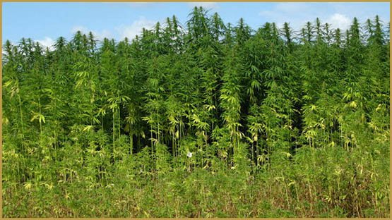 virginias-first-hemp-harvest-70-years-3