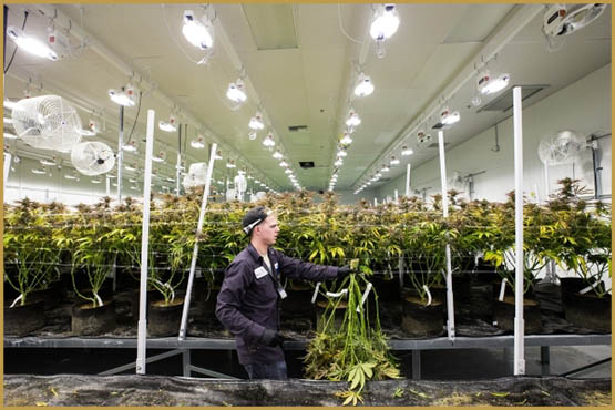 1004602231_marijuana_harv_5_1