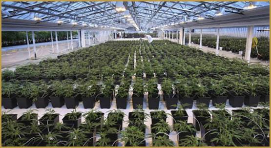 cannabis-canada-750x410