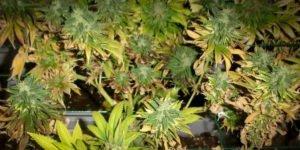 Symptôme des feuilles mortes