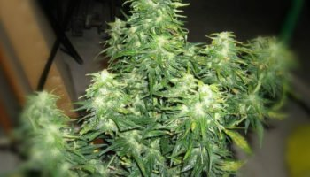 Tips for growing auto-flowering species