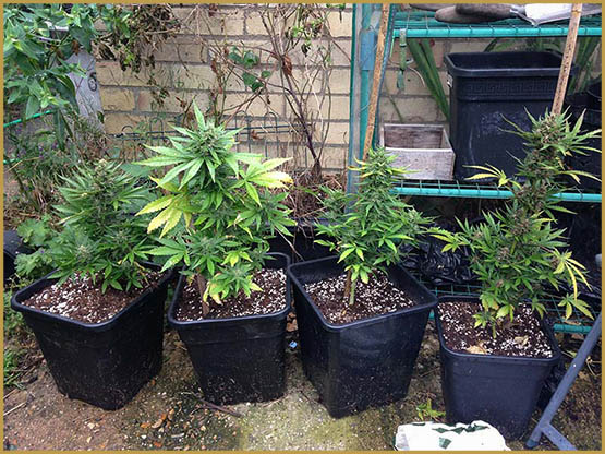 autoflowering-cannabis-strains-typically-grow-to-heights-of-around-40-50cm-4