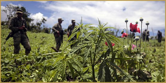 Mexican soldiers stand amidst poppy flowers and marijuana plants during an operation at Petatlan hills in Guerrero state, Mexico on August 28, 2013. Mexico is being whipped by a drug cartels war disputing their place and the trafficking to the United States with unusual ferocity and sophisticated wepaons. AFP PHOTO/Pedro Pardo