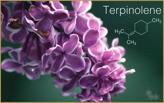 terpene-profile-terpinolene-the-leaf-online