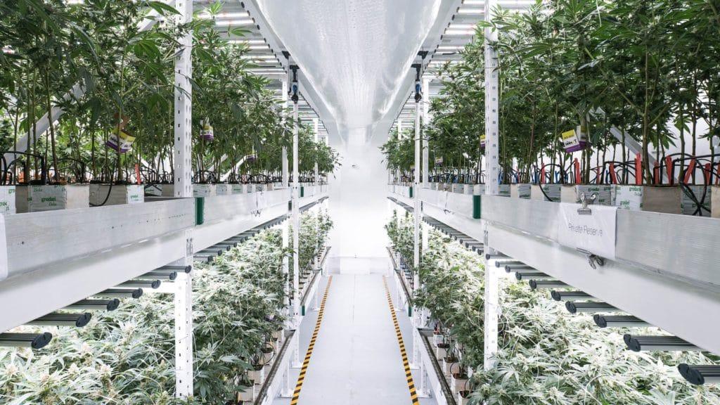 La culture verticale: L'avenir du cannabis?