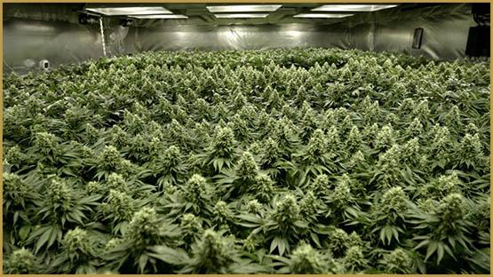 La culture verticale: L\'avenir du cannabis?