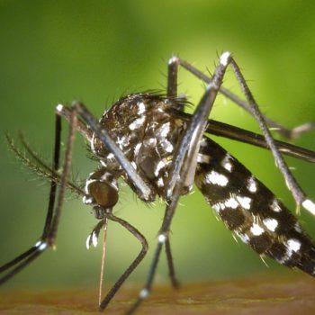 Du cannabis contre le paludisme