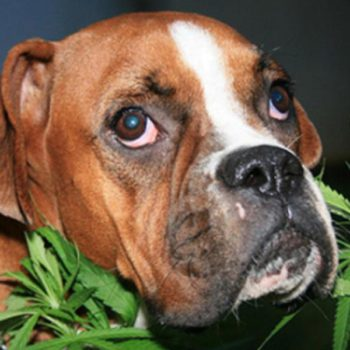 Hemp for stressed dogs