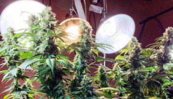 Technique de la défoliation du cannabis