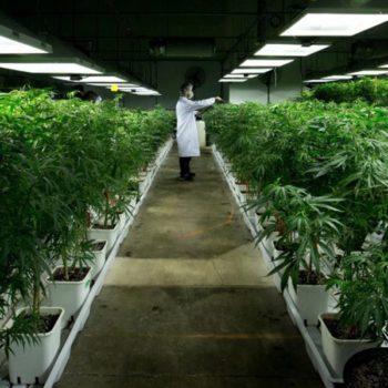 Le cannabis, une valeur biotechnologique