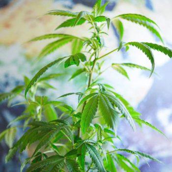 Les 10 pays consommateurs de cannabis
