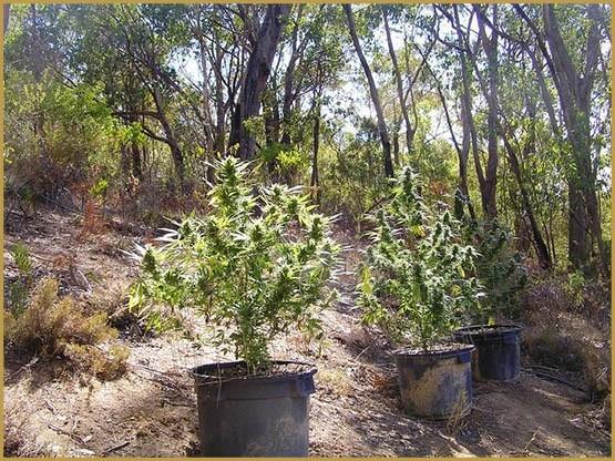 Optimiser la taille du cannabis