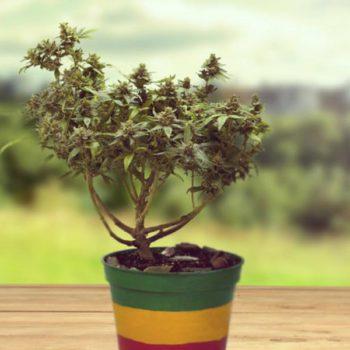Culture d'un bonsaï cannabique