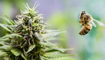 The safeguarding of bees by cannabis