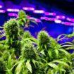 Les tendances émergentes dans l'industrie du cannabis