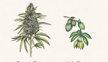plante,mâles,Anatomie du cannabis